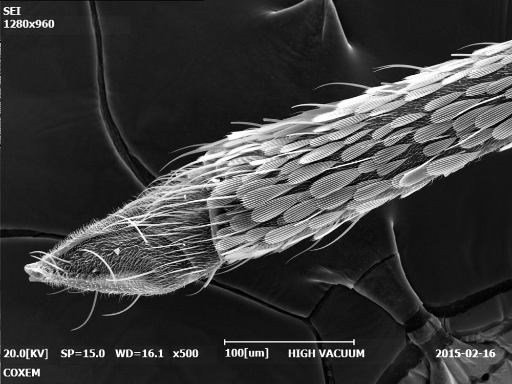 Mosquito Stinger